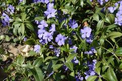 Azul pouco perwinkle no parque da mola foto de stock royalty free