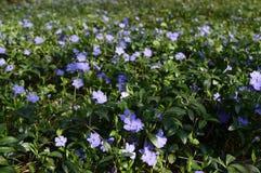 Azul pouco perwinkle no parque da mola foto de stock