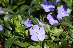 Azul pouco perwinkle no parque da mola fotos de stock