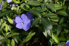 Azul pouco perwinkle no parque da mola fotografia de stock royalty free
