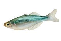 Azul Rainbowfish de los lacustris de Melanotaenia de los pescados de arco iris de la turquesa foto de archivo