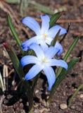 Azul Scilla da flor Foto de Stock