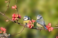 Azul-tits encaramados en un árbol de melocotón Fotografía de archivo libre de regalías