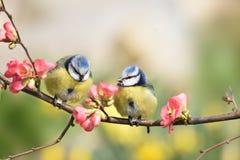 Azul-tits encaramados en un árbol de melocotón Foto de archivo libre de regalías