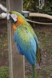 Azul y Macaw encaramado oro Fotos de archivo libres de regalías