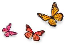 Azul y naranja de la mariposa de monarca Foto de archivo