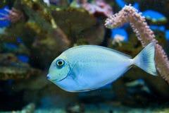 Azul y pescados manchados amarillo Fotografía de archivo libre de regalías