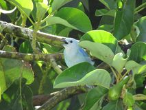Typical bird of Venezuela or South America. dominant color blue. Inn on a tree. Typical bird venezuela south america dominant color blue inn tree royalty free stock photo