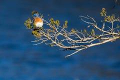 Azulejo del este en una rama de florecimiento Foto de archivo