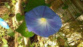 Azules de la correhuela Imagenes de archivo