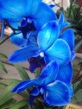 Azules de la orquídea Imágenes de archivo libres de regalías