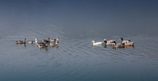 Azur sjö med anden Arkivfoton