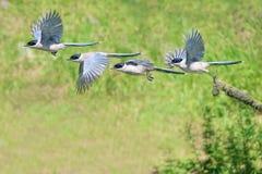 Azurblau-winged Elster stockbilder