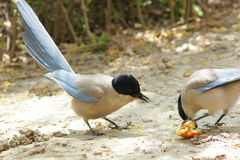 Azurblau-winged Elster stockfotos