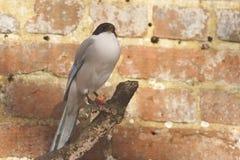 Azurblau winged Elster stockfoto