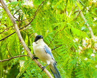 Azurblau-winged Elster stockfoto