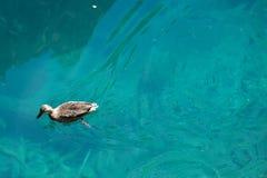Azurblauer See mit Ente Lizenzfreie Stockfotos