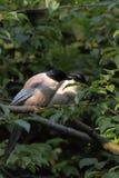 azure подогнали magpie, котор Стоковые Фотографии RF