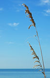 Azure Blue on the Beach. Sea Oats against the azure blue sky on a beach in Florida Royalty Free Stock Photography