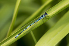 Azure Blue Damsel fly Stock Photography