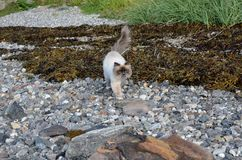 Azure blue eyed cat prowling the sea weed covered shore Royalty Free Stock Image