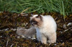 Azure blue eyed cat prowling the sea weed covered shore Stock Photos
