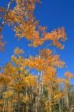 Azure Blue Sky With Golden Amber Aspens bij Daling stock afbeeldingen