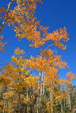 An Azure Blue Sky With Golden Amber Aspens at Fall Stock Images