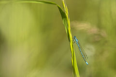 Azure Bluet Stock Foto's