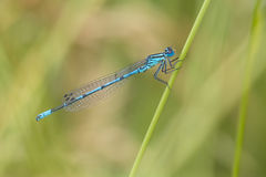 Azure Bluet Stock Photos