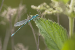 Azure Bluet Royalty Free Stock Images