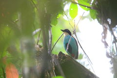 Azure-breasted Pitta. (Pitta steerii) in Mindanao, Philippines Royalty Free Stock Image