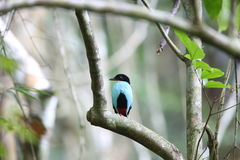 Azure-breasted pitta. (Pitta steerii) Rajah Sikatuna National Park, Bohol Philippines Royalty Free Stock Photography