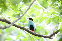 Azure-breasted pitta. (Pitta steerii) Rajah Sikatuna National Park, Bohol Philippines Stock Images