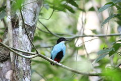Azure-breasted pitta Royalty Free Stock Photos
