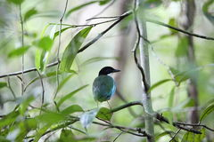 Azure-breasted pitta Royalty Free Stock Image