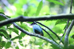 Azure-breasted pitta Stock Images