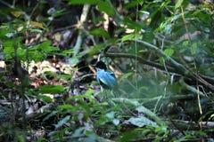 Azure-breasted pitta. (Pitta steerii) Rajah Sikatuna National Park, Bohol Philippines Stock Photos