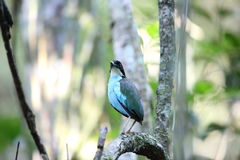 Azure-breasted pitta. (Pitta steerii) Rajah Sikatuna National Park, Bohol Philippines Stock Image