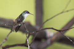 Azure-crowned hummingbird Royalty Free Stock Photo
