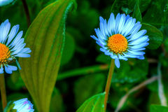 Azure daisy Royalty Free Stock Photos