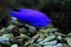 Azure damselfish. The azure damselfish also knows as half-blue damselfish Stock Photography