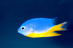 Azure Damselfish (Chrysiptera hemicyanea). In Aquarium Royalty Free Stock Photos