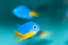 Azure Damselfish (Chrysiptera hemicyanea). In Aquarium Royalty Free Stock Photo