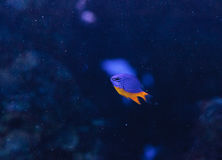 Azure damselfish Chrysiptera hemicyanea. On a coral reef Stock Photos