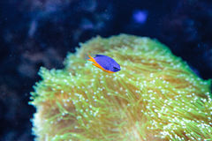 Azure damselfish Chrysiptera hemicyanea. On a coral reef Royalty Free Stock Photography