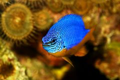 Azure damselfish Chrysiptera hemicyanea or saltwater aquarium fish. Fish Royalty Free Stock Photos
