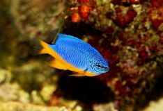 Azure damselfish Chrysiptera hemicyanea or saltwater aquarium fish. Fish Royalty Free Stock Image