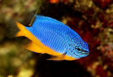 Azure damselfish Chrysiptera hemicyanea or saltwater aquarium fish. Fish Royalty Free Stock Images