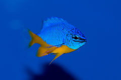 Azure Damselfish. A closeup of a blue and yellow damselfish. The Azure Damselfish, also known as the Half-blue Damselfish, is a two-tone, darting marine fish Stock Photo